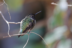 Hummingbirds in our Backyard - 1 (fksr) Tags: hummingbird bird sanrafael marincounty california