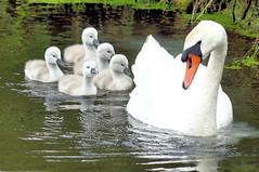 Missing Shelties (Sheltie Dog World) Tags: cute bird swan cygnets motherandcygnets