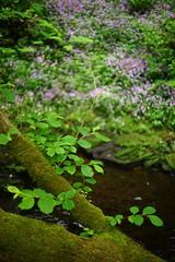 Beech bough and bokeh. (Keefy243) Tags: flowers wild leaves 50mm pentax bokeh m42 f2 mossy beech rivelin bough sheffieldsouthyorkshireuk