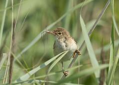 Reed Warbler - Acrocephalus scirpaceus (Gary Faulkner's wildlife photography) Tags: reedwarbler kentbirds