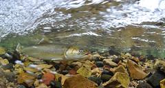 Rushing Flow (Fish as art) Tags: salmonids salvelinus nunavut nature naturfotos underwaterphotographypaulvecsei fish canadianarctic adventure arcticexpedition deepnorth fishing flyfishingcanada fishesofcanada fishesofalaska fishesofnunavut kugluktuk biodiversity