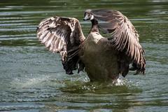 Top Goose (Evoljo) Tags: shaftsburylake water goose feathers bird splash swindon wiltshire nature wildlife nikon d500