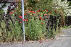 ckuchem-2667 (christine_kuchem) Tags: brgersteig gehweg holz jgerzaun mohn siedlung spontanwegetation stadt strase zaun