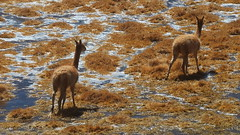 Vicunas Olympics (Eye of Brice Retailleau) Tags: altiplano america animal animaladdiction animals brown chile chili colourful colours composition countryside earth extrieur fantasticwildlife fauna nature outdoor scenery scenic travel water wild wildlife texture vicuna