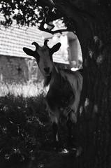 """BBQ Jr... Non comestible""/""BBQ Jr .... Inedible"" (The Blue Water Lily's Company) Tags: goat chèvre fdrouet nb bw film f801s afd analogue analogique analogico blackandwhite noiretblanc blancoynegro nikon nikkor 50mm18 scan epson v370 lc29 hp5 ilford rural animal pet grain monochrom monochrome"