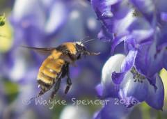 Fast & Furry-ous (barachois50) Tags: bee grosmorne grosmornenationalpark rockyharbour wildflowers monkshood