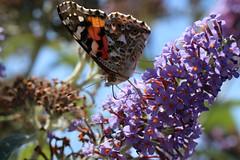 Distelfalter (gripspix (OFF)) Tags: 20160807 nature natur flower blume distelfalter paintedlady cosmopolitanbutterfly vanessacarduisyncynthiacardui schmetterling butterfly schmetterlingsflieder summerlilac