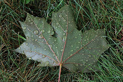 Maple Leaf with Water Drops (hbickel) Tags: maple tree leaf macro macrolens canont6i canon