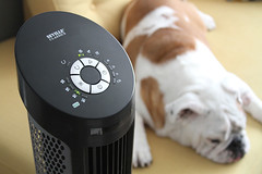 Top of tower fan with English bulldog in background (yourbestdigs) Tags: fan dog electric blow white cooler ears summer one doggy cute funny object lying front humor cool bulldog wind face french home resting looking bull background domestic canine pet animal metal air hot