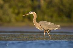 Yawn (santosh_shanmuga) Tags: great blue heron wader herons egret gbh bird birding aves wild wildlife nature animal outdoor nikon d810 500mm fl florida pinellas ft desoto fort ftdesoto