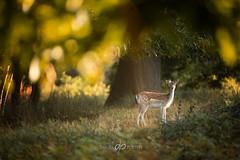 Lone Deer (Dan Portch) Tags: deer sevenoaksknolepark knole knolepark sevenoaks kent uk morning