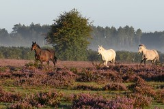 130/366 Galloping Horses (aprilmcoady) Tags: horses gallopinghorses newforest nature trees britain england heather actionshot