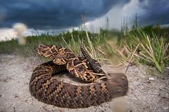 Warning Shot (Nick Scobel) Tags: venom venomous danger bite eastern diamondback rattlesnake crotalus adamanteus florida rattler wide angle