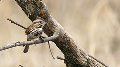 Song Sparrow, Grassy Point, 04/29/15 (TonyM1956) Tags: tonymitchell duluth stlouiscounty minnesota nature birds sparrows songsparrow grassypoint sonyphotographing sonyalphadslr