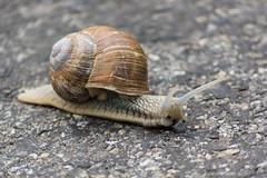 On the road (bertrandwaridel) Tags: road forest switzerland spring suisse snail april escargot vaud 2015 echallens