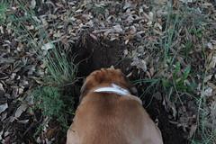 Babel cavando desde atrs I (lapelan) Tags: de la agujero campo cerrado serra solitario tarde ftbol babel tierra perra hierba vaco solos bellotas cavar batet