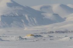 Queen of the Arctic (JSS-N) Tags: snow ice nature norway outdoors norge wildlife svalbard arctic polarbear spitsbergen ursusmaritimus pyramiden isbjørn