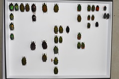 Milan Krajcik collection: Cetoniinae 65 (NHM Beetl