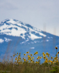 IMG_3142-Edit (Dancing Aspens) Tags: mountains montana arrowleafbalsamroot