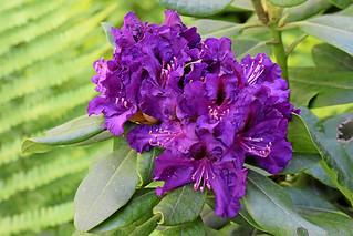 Rhododentron – Farbwechsel nach Blau