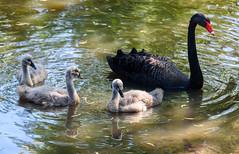 Black Swan Family (Jocey K) Tags: newzealand christchurch reflections spring blackswan traviswetlands cygent blackswancygnet