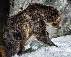 DSC_0070-1 (craigchaddock) Tags: montana scout sandiegozoo centenial grizzlybear enrichment ursusarctoshorribilis centenialcelebration snowenrichment sdzoo100
