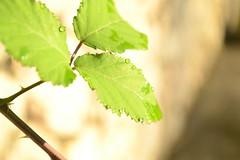 (..*SiMo*..) Tags: verde natura foglia rugiada gocce