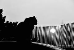In the Shadow of the last Sun  (All'ombra dell'ultimo sole) (alogico) Tags: sunset shadow blackandwhite sun white abstract black last cat tramonto ombra philosophy literature serenity sole astratto gatto bianco calma nero biancoenero psicologia psychology filosofia psychoanalysis letteratura flaubert serenit psicoanalisi alogico