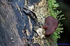 fungo... Ou um rosto? (Luiz Filipe Varella) Tags: fungo cogumelo mushroom mata atlntica floresta ombrfila mista araucria araucarieto rio grande do sul umidade mida de altitude luiz filipe klein varella