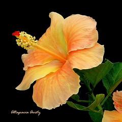Hibisco/Hibiscus (Altagracia Aristy) Tags: hibiscus cayena laromana quisqueya repblicadominicana dominicanrepublic caribe caribbean caraibe antillas antilles trpico tropic amrica altagraciaaristy fuifilmfinepixhs10 fujifinepixhs10 fujihs10 blackbackground hibisco