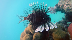Lionfish (JaedinAlways) Tags: ocean sunset sky beach monument nature night forest way stars underwater conservation tropical environment species bahamas lionfish milky invasive