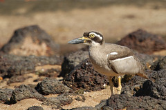 Beach Stone-curlew (Janis May) Tags: beachstonecurlew eastpoint