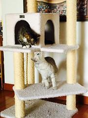 First Encounter... (Lawrence Law) Tags: cats sheeba radish