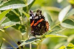 Vulcain - Domaine des Oiseaux (Darth Jipsu) Tags: calmont languedocroussillonmidipyrn france languedocroussillonmidipyrnes fr domaine des oiseaux mazre papillon lpidoptres