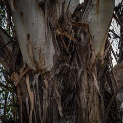 Eucalypt Tree Trunk - Barton - ACT - 20160710 @ 13:04 (MomentsForZen) Tags: brown texture bark eucalyptus tree square hasselblad500cmcfv50c hasselblad momentsforzen barton australiancapitalterritory australia au