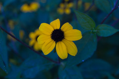IMG_1052 (M.Kanti) Tags: flowers roses plants floral rose daisies photography flora daisy rudbeckia