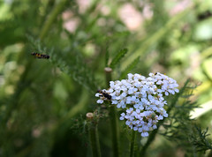 Hoverfly on Yarrow, another Hovering (froggieb - Broken Camera, limited to cell phone :() Tags: hoverfly flowerfly syrphidfly syrphidae yarrow flower blooms white achilleamillefolium nature gardening