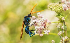 Gets your attention (Photosuze) Tags: insects bugs wasps tarantulahawks colorful iridescent animals nature wildlife feeding flowers pollination milkweed