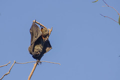 Male Grey-Headed Flying Fox inverting to defecate (jaysonb485) Tags: flyingfox wildoz