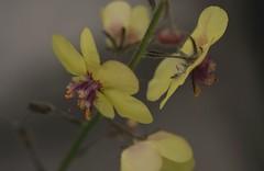 Wildflower Weeds (Alvin Harp) Tags: nature oregon weeds july wildflowers macroflowers naturelover 2016 naturepix naturesbeauty macrounlimited teamsony sonya7rii sonyilce7rm2 fe2890macrogoss alvinharp