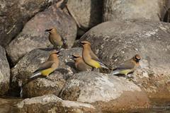 Cedar Waxwings (Turk Images) Tags: birds alberta migration cedarwaxwing brooks bombycillacedrorum bombycillidae cewa lakenewell