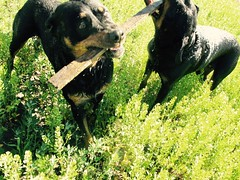 IMG_0081 (SpiderMiau) Tags: rottweiler walk dog play bark calgary alberta