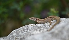 Lizard. (Stefania Bianco) Tags: colors color colorfull nature italia italy cool amazing reflex nikon aroundtheword rock animal reptil sauro green brown