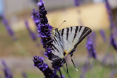 butterfly & lavender (marti.labruna) Tags: maranatha photography picture canon 1200d eos colours colorful exposure summer lavender butterfly macro flowers details
