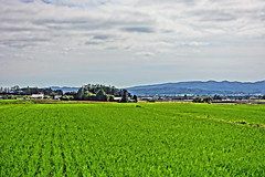 Greener Fields (sjrankin) Tags: 23july2016 edited kuriyama hokkaido japan farms fields flat plain rice hdr