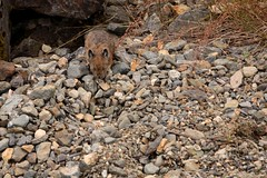 160716-162 (waferboard) Tags: hope fauna pika rodent