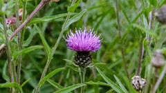 Thistle (Topher Graham) Tags: fife scotland nature grass flowers