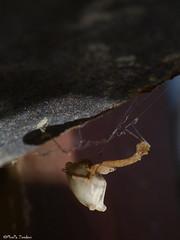 Uloborus spider (Geminiature Nature+Landscape Photography Mallorca) Tags: uloboridae uloborus sp mallorca baleares balearics balearen balear spain espaa spiders araas spinnen cribellateorbweavers hackledorbweavers ulobridos wielwebkaardespinnen orbitelas cribeladas featherleggedlaceweaver macro raynox250 raynox dcr250 250 dcr araneae female vrouwtje hembra zwanger embarazada pregnant
