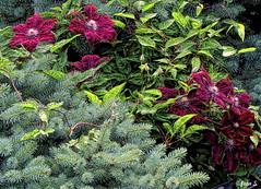 ... (Jean S..) Tags: clmatite flowers purple green blue garden summer bloom