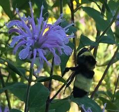 Bombus auricomus - Black-and-gold Bumble Bee (Stylurus) Tags: michigan lodi township prairie oaks bugguide bombus bumble bee auricomus blackandgold